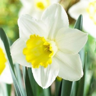 Narcissus Every Day nagyvirágú narcisz virág