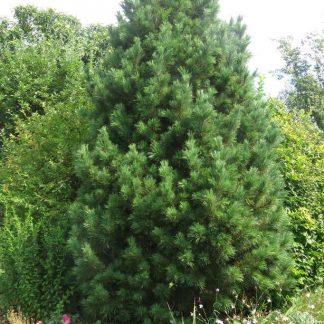 Pinus cembra havasi cirbolyafenyő