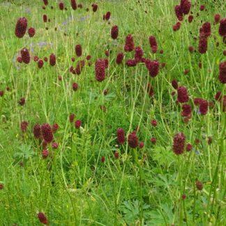 Őszi vérfű (Sanguisorba officinalis)