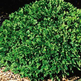 Thuja occidentalis Woodwardii nyugati tuja