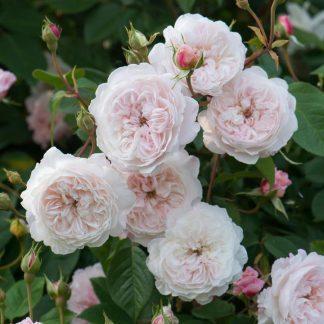 The Albrighton Rambler - rózsaszín futórózsa